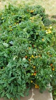 Tomato plant :)