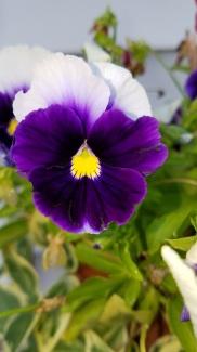 Purple Panzies